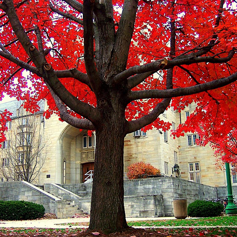 A tree with red foliage outside of the Collins Center entrance